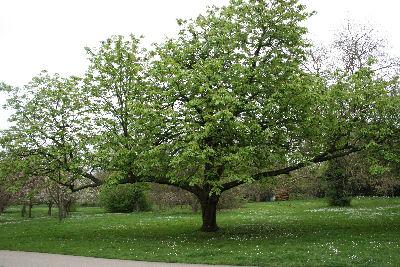 Headington Hill Park -Specimen Tree