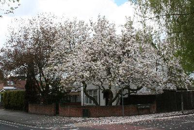 Magnolia in Old Road